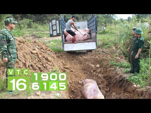Dịch tả lợn Châu Phi tràn vào Việt Nam | VTC16