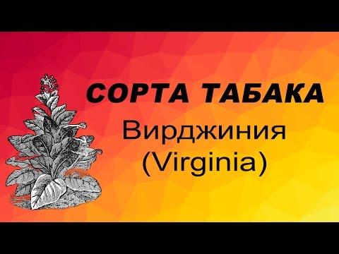 СОРТ ТАБАКА ВИРДЖИНИЯ (VIRGINIA TOBACCO). Семена табака.