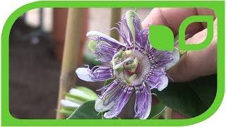 Eia Popeia im Kübel - die winterharte Passionsfrucht