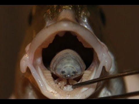Tongue Eating Fish Parasites Youtube