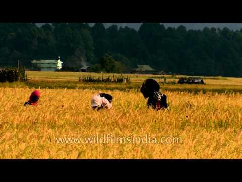 Harvesting going on in full vigour: Ziro Valley