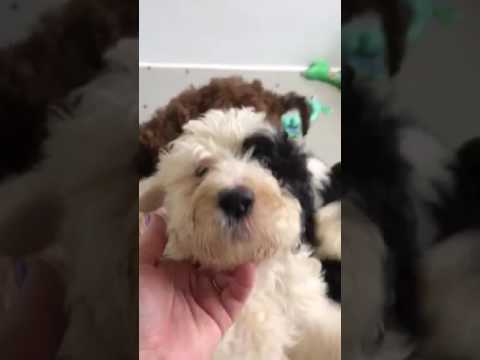 Katie's Sheepadoodle Puppies 7 Weeks.