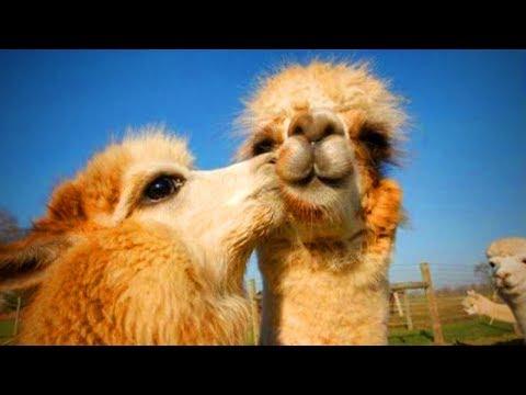 Cute Llamas 😍😂 Funny And Cute Llamas(Part 1)