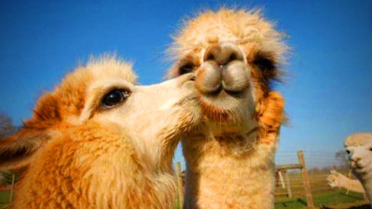 Download Cute Llamas 😍😂 Funny and Cute Llamas(Part 1)