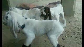 Gulabi goat Kid |Complete Documentary - Narejo Goat Farm