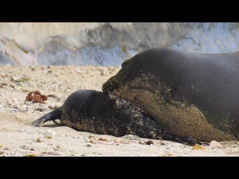 Newly born Hawaiian Monk Seal Pup with its mother at Kaimana Beach, Waikiki, Hawaii