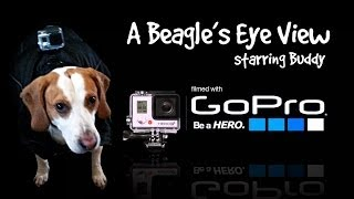 A Beagle's Eye View -  With Go Pro Hero 3+ Camera & Gopro Dog Mount Harness