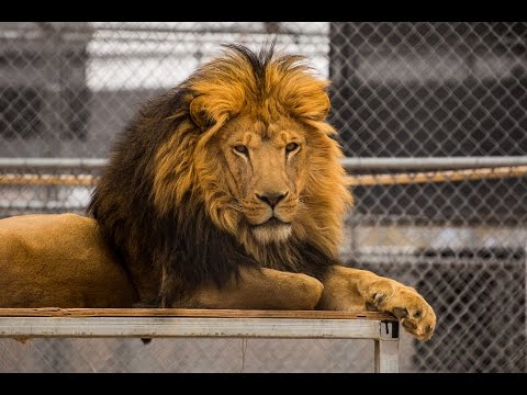 Lion Habitat Ranch Las Vegas 2015