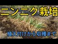 家庭菜園 ニンニク栽培 の動画、YouTube動画。