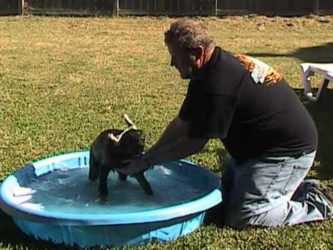 Doberman puppy first bath