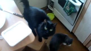 Черная кошка встает на две лапки / Кошка мяукает
