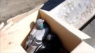 Lästige Tauben werden in die Freiheit entlassen