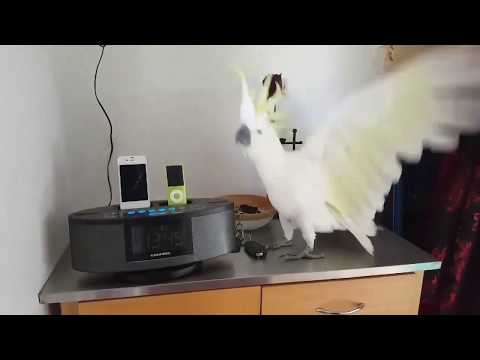 best-parrot-dance-ever-!!!-🕊-cacatua-cockatoo-dancing-what-is-love