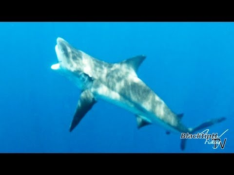 Big Bull Shark Caught Offshore