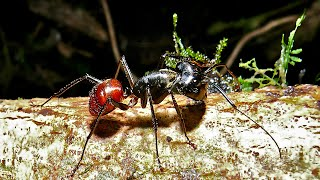 Largest Ant in Malaysia is huge.