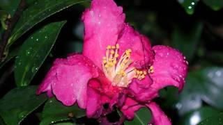 山茶花の花 番外編
