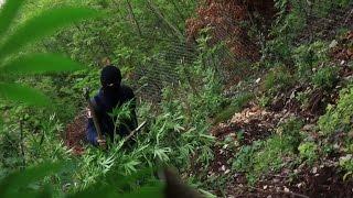 ألبانيا ترزح تحت زراعة الحشيشة