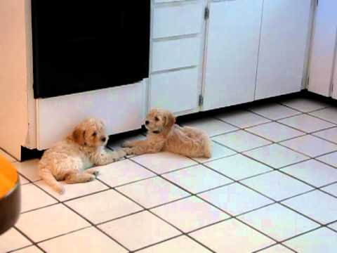 Goldendoodle puppies have an argument (funny)