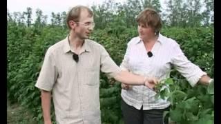 Летние сорта малины (однократно плодоносящие). Уход.(Видео подготовлено садовым центром Greensad по материалам передачи