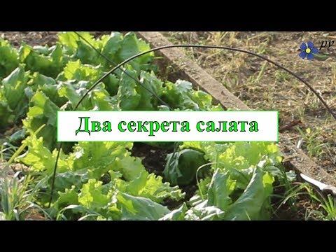Два секрета выращивания салата
