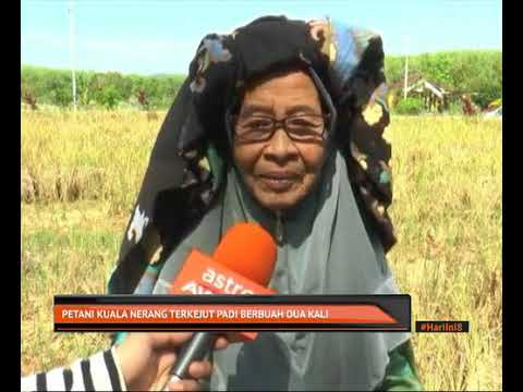 Petani Kuala Nerang terkejut padi berbuah dua kali