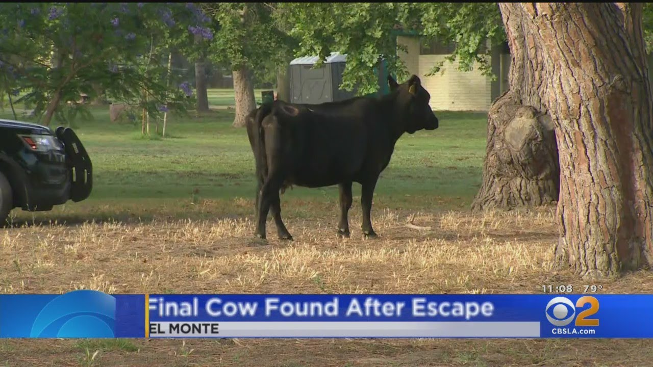 Download Final Missing Cow Which Escaped Meatpacking Plant Found In South El Monte Park
