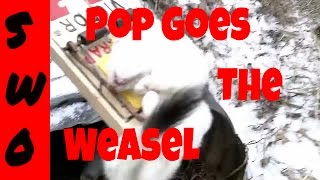 Weasel Trapping Sets, Location and Catches