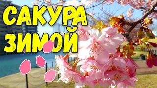 В Японию пришла весна. Зимой зацвела сакура