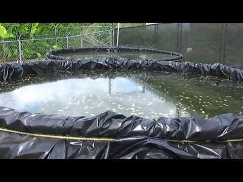 Cria de tilapias en jaulas flotantes primera for Tanques para cachamas