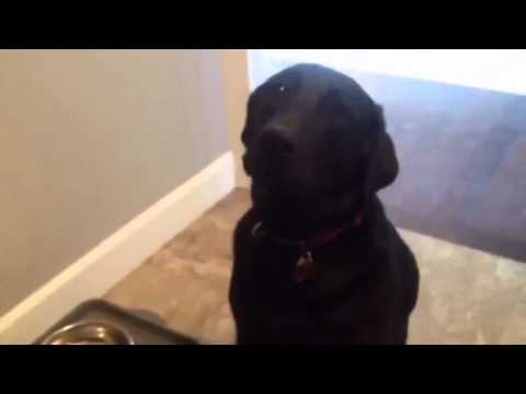Naughty dog tries to apologize for eating shoes