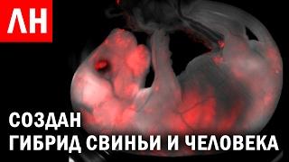 Гибрид СВИНЬИ и ЧЕЛОВЕКА (Химера) создан УЧЕНЫМИ и другие Любопытные Новости #29