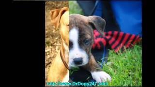 Dog Ear Treatment For Pitbulls.mp4