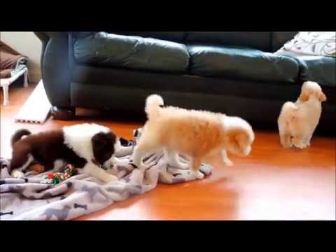 Bordoodle puppies playing Border Collie- Poodle Cross
