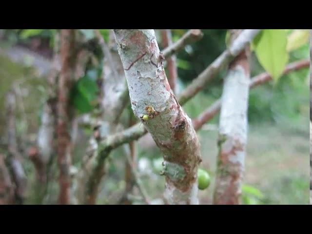 CEIC em casa | Árvores da Mata Atlântica