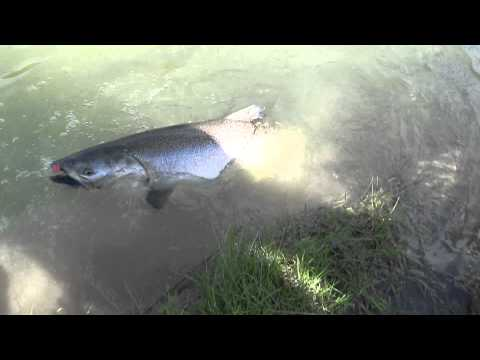salmon fishing Ontario Canada