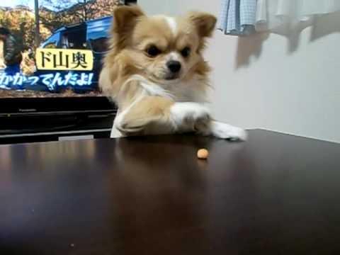 おもしろい犬チワワ (おやつ食べたい!!)