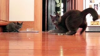 Thunder & Monkey - Cats Dancing For The Laser Pointer