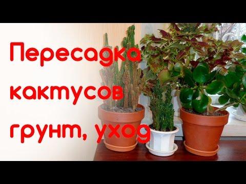 Пересадка кактусов, грунт для кактусов, уход