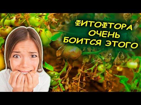 ВОТ ЧЕГО РЕАЛЬНО БОИТСЯ ФИТОФТОРА И МУЧНИСТАЯ РОСА. Средство от болезней томатов.