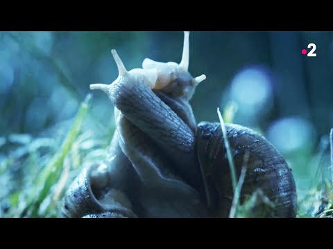 Sex : snails like it long and soft