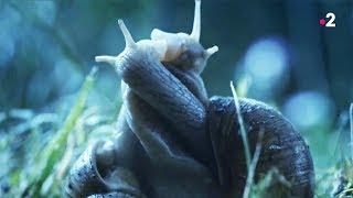 Sexe : les escargots l'aiment long et mou - ZAPPING SAUVAGE