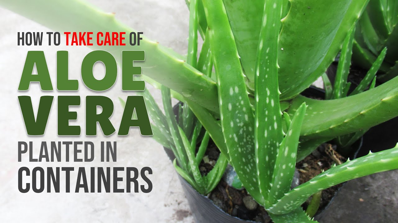 How To Take Care of Aloe Vera Planted In Containers