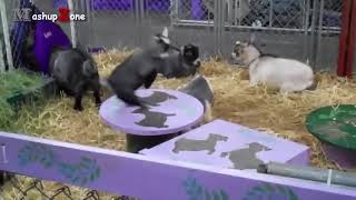 Cute Baby Goats - A Cute And Funny Baby Goats Compilation    NEW HD