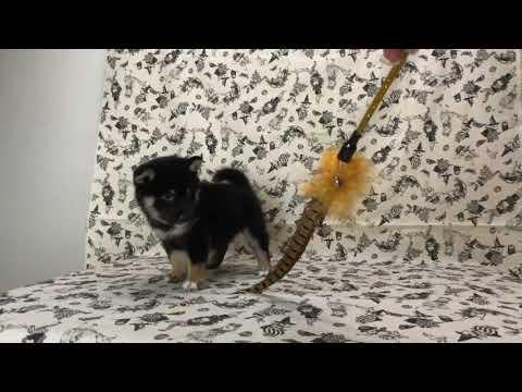 PuppyFinder.com : Black Shiba Inu Sweetie2