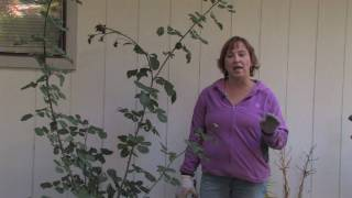 Plant Care & Gardening : When to Cut Back Roses