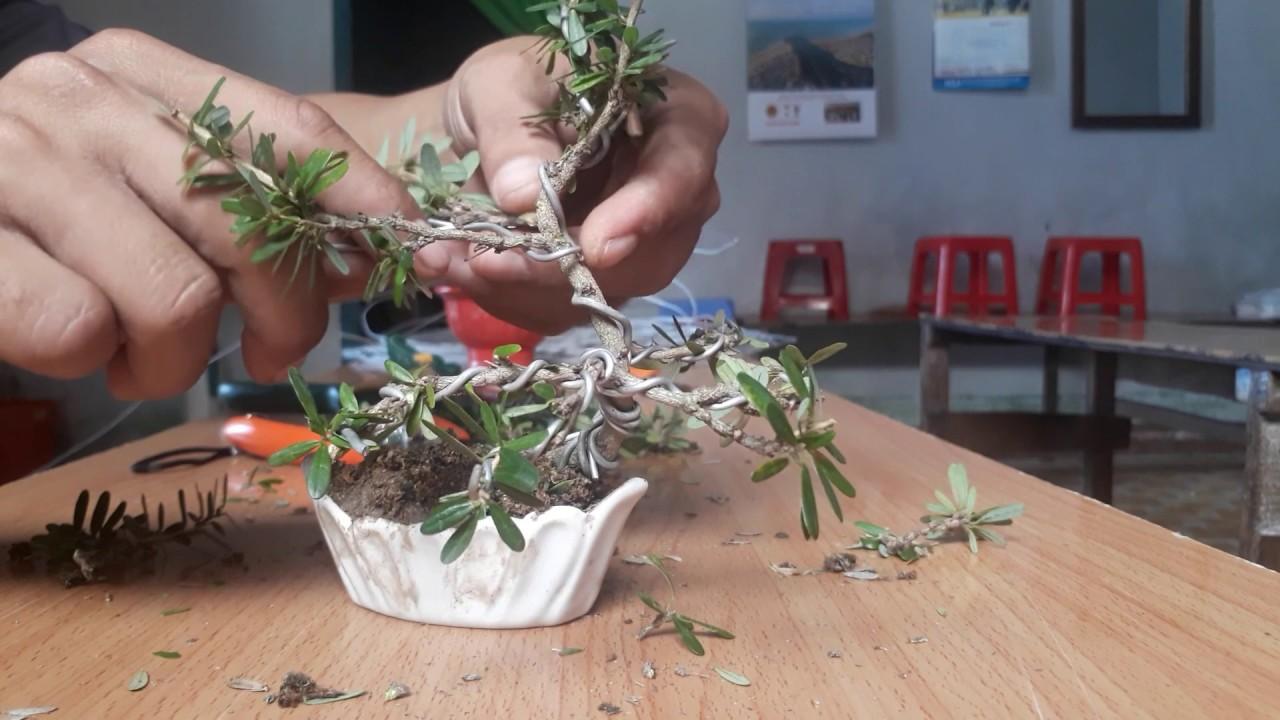 Hướng dẫn tạo dáng linh sam bonsai mini.