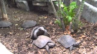 Turtles sex with sound