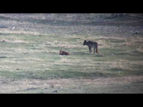 Yellowstone wolf attacking a bison calf