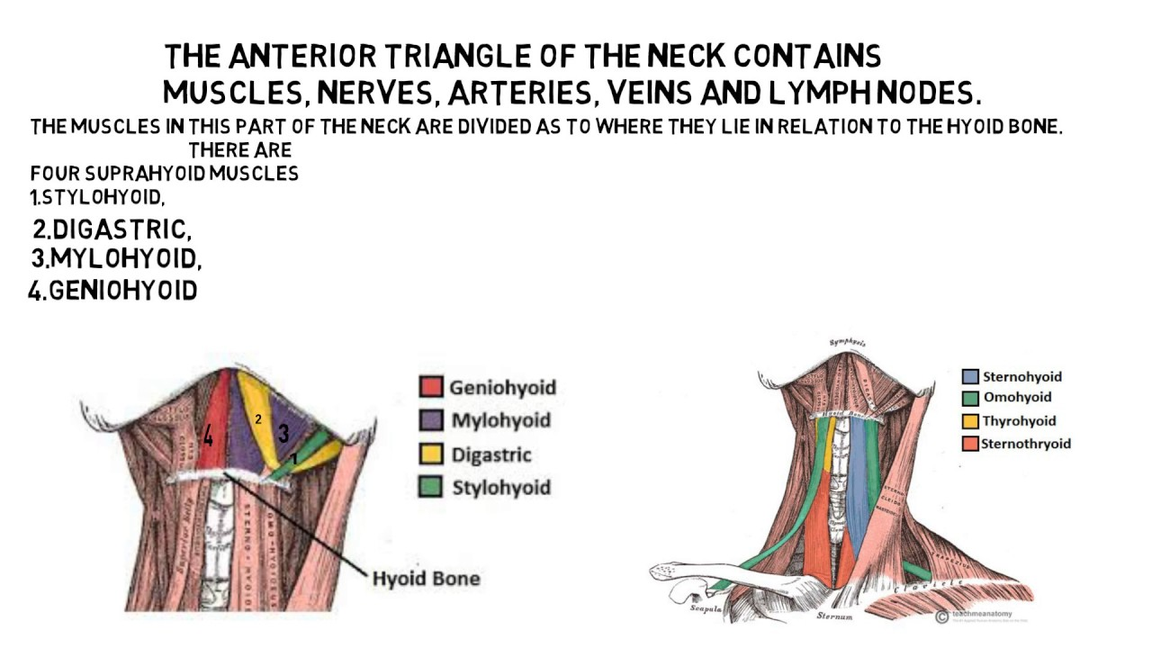anterior triangle of neck - YouTube