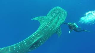 Whale Shark encounter of the Backside of Molokini Crater in Maui Hawaii
